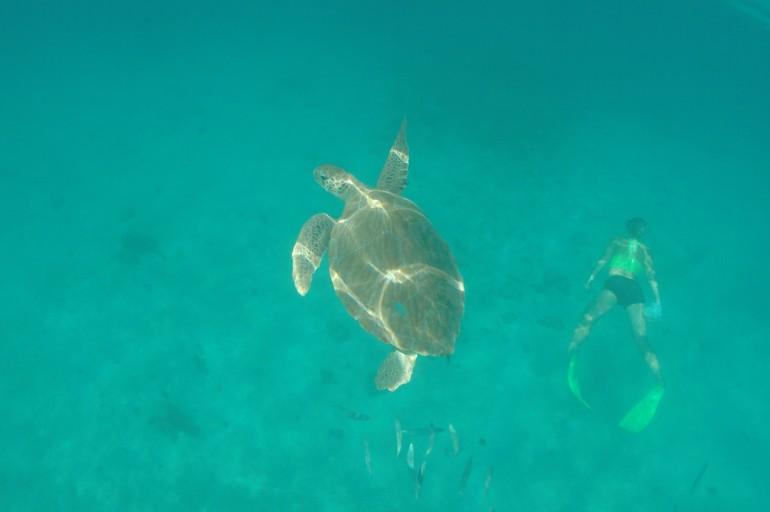 Snorkel em Barbados: Tartarugas bem de pertinho!